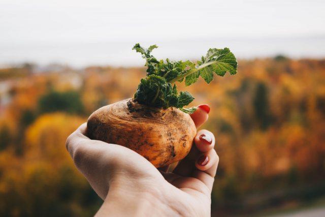 planter après les pommes de terre