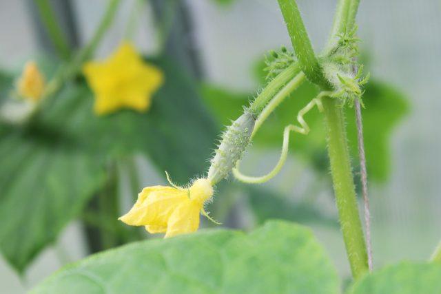 Planter le cornichon