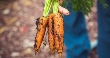 repiquer des carottes