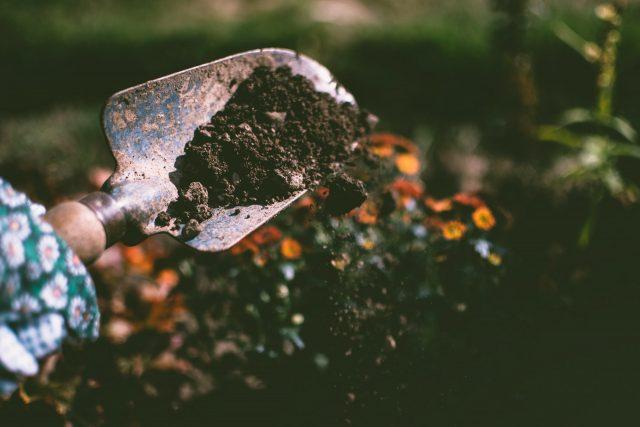 Planter ou semer les fraisiers