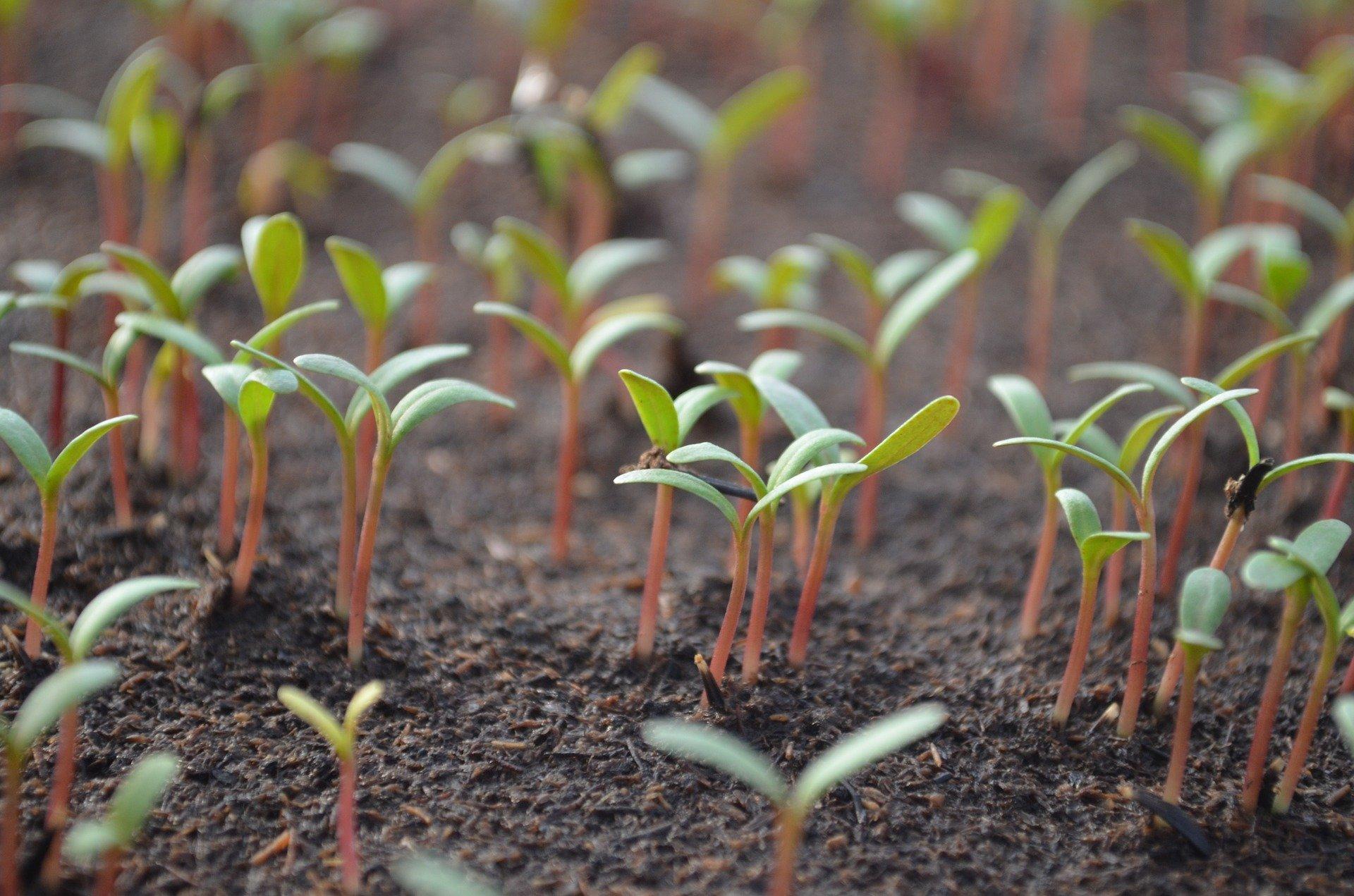 Les semis en serre