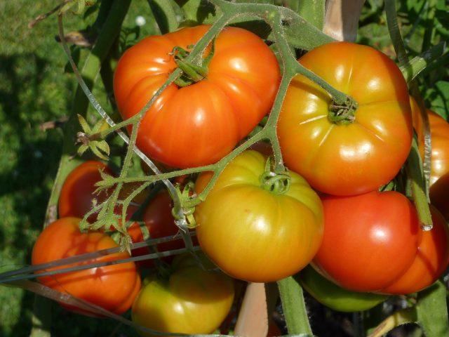 mes tomates ne rougissent pas